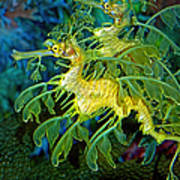 Leafy Sea Dragons Art Print