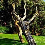 Leaning Cedars Of West Chop Art Print