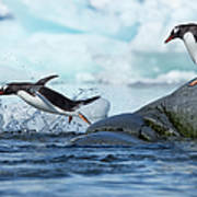 Leaping Gentoo Penguins, Antarctica Art Print