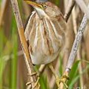 Least Bittern Pictures 35 Art Print