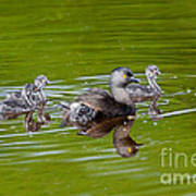 Least Grebe And Young Art Print
