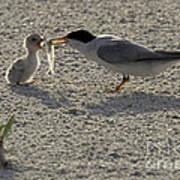 Least Tern Feeding It's Young Art Print