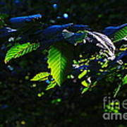 Leaves Of Shining Art Print by Tim Rice