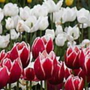 Leen Van Der Mark Tulips Art Print