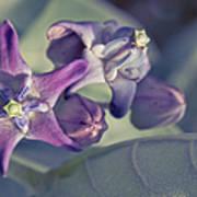 Lei Pua Kalaunu - Crown Flower - Calotropis Gigantea Art Print