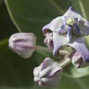 Lei Pua Kalaunu - Crown Flower - Calotropis Gigantea - Asclepiadaceae Art Print