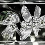 Lemon Blossoms Art Print