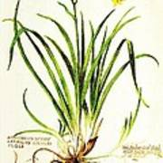 Lemon Daylily Botanical Art Print