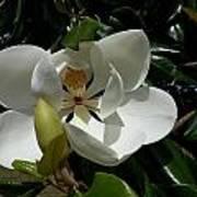 Lemon Magnolia Art Print