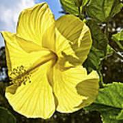 Lemon Yellow Hibiscus Art Print