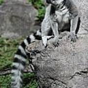 Lemur Pose Art Print