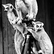 Lemurs Perched On Tripod Art Print