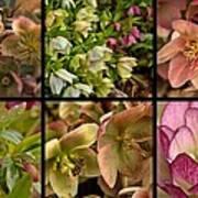 Lenten Rose Collage Art Print