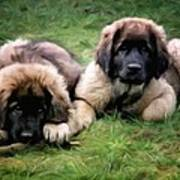 Leonberger Puppies Art Print
