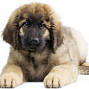 Leonberger Puppy Art Print