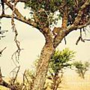 Leopard Eating His Victim On A Tree In Tanzania Art Print