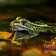 Leopard Frog Floating On Autumn Leaves Art Print