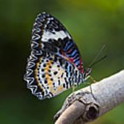 Leopard Lacewing Butterfly Art Print