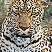 Wild Leopard In Botswana Art Print