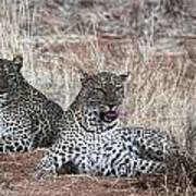Leopard Mates Art Print