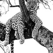 Leopard - Panthera Pardus. Leopard Will Art Print