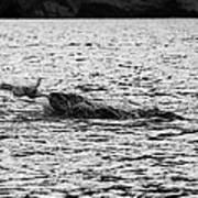 leopard seal killing a penguin in port lockroy Antarctica Art Print