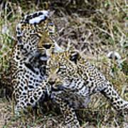 Leopard Tease Art Print