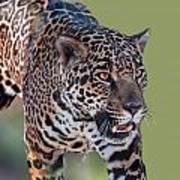 Jaguar Walking Portrait Art Print