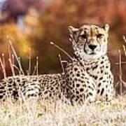 Leopard Watching Art Print
