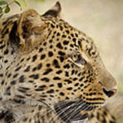 Leopard Zimbabwe Art Print