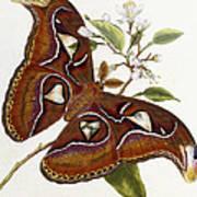 Lepidoptera Print by Edward Donovan