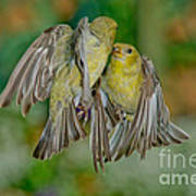 Lesser Goldfinch Females Fighting Art Print