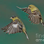 Lesser Goldfinch Pair In The Air Art Print