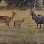 Lesser Kudu Art Print