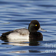Lesser Scaup Art Print