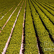 Lettuce Farming Art Print