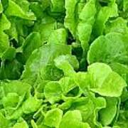Lettuce Sing Art Print