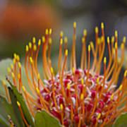 Leucospermum Pincushion Protea - Tropical Sunburst Art Print