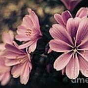 Lewisia Flowers - 7 Art Print