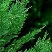 Leyland Cypress Green Art Print