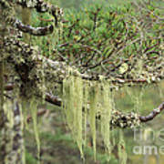 Lichens On Tree Branches In The Scottish Highlands Art Print