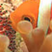 Life Cycle Of Anemone Fish Art Print