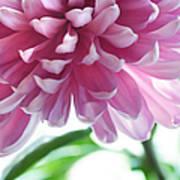 Light Impression. Pink Chrysanthemum  Art Print