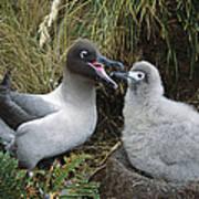 Light-mantled Albatross Feeding Chick Art Print