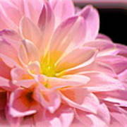 Light Pink Dahlia 1 Art Print