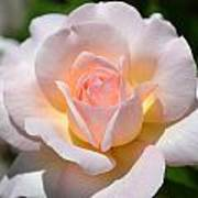 Light Pink Rose Art Print