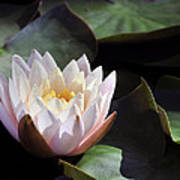 Light Pink Water Lily Art Print