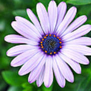 Light Purple Daisy  Art Print