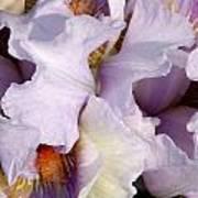 Light Purple Irises 2 Art Print