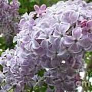 A Lighter Shade Of Lilac Art Print
